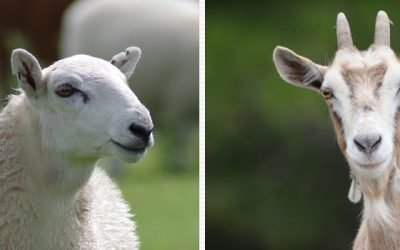 Sheep vs. Goats campaign gives a flock of  28 goats!
