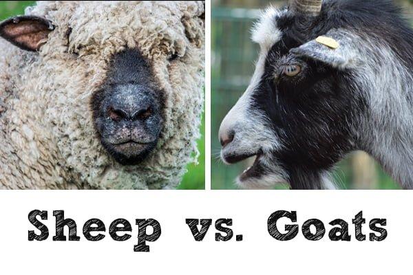 sheep-vs-goats-week2-600x400